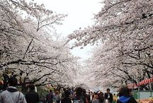 Sakura / Cherry Blossom Season