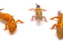 Eublepharis macularius - Gecko léopard / Diverses mutations de Gecko léopard