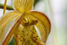 Orquidea  pantunfla