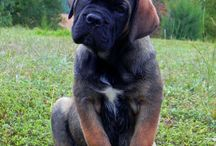 Cane corso and other mastiffs