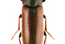 melandridae