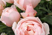 róże które mam
