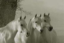 Beautiful Arabian Horses / by Angela Madison
