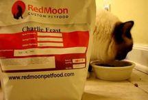 Ragdoll Kitten Eating