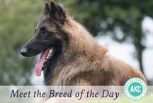 """Belgian Tervuren / Belgian Tervuren are one of four Belgian herders so similar that once they were recognized as a single breed, the big difference being coat type: Tervs (longhaired, """"blackened"""" fawn or red), Belgian Sheepdogs (longhaired, black), Malinois (shorthaired), and Laekenois (wirehaired). The four Belgians are characterized by an elegant but muscular frame, a proudly carried head, an alert and intelligent demeanor, and an insatiable work drive."""