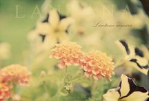 Lantana- the amazing, easy to grow flower / by Sabrina and Todd Farber
