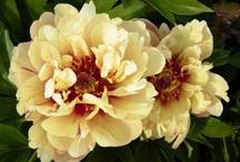 Flower WL Peonies ITOH / by Sandy Hilliard