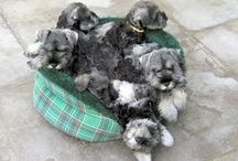 Cute Schnauzers / by Rhonda Ellis