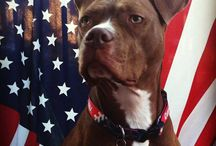 Pitbull Support / by Tiffany Marie Woods