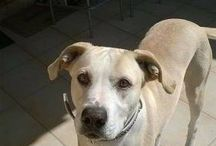 Labrador à donner