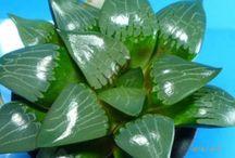 多肉植物 ハオルチア