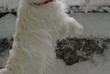 West Highland Terrier / The best of both worlds---great active and lap dog