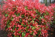 struiken / shrubs