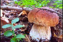 Grzyby - Mushrooms - Fungi / kolejna wizyta w Beskidzkich lasach Małopolski i kolejne grzyby trafiają do koszyka:) #grzyby #mushroom #grzybobranie #borowik #prawdziwek #szlachetny #borowik #ceglastopory #sosnowy #boletus #usiatkowany #koźlarz #koźlarz_czerwony #maślak #podgrzybek #las #forest #na_grzyby #muchomor #grzyby #jadalne #trujące #grzybki #grzyby_w_Polsce #zbieranie_grzybów #grzybiarz #Beskidy #Poland #lasy_Polskie #Polskie_grzyby  #fungi-of-Poland #fungi #good edible species