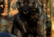 Wild Wolves / We all need a Pack to belong too... or maybe a Lone Wolf