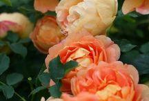 peony chinese flowers / Beautiful flowers,