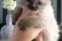 Ragdolls /  Ragdoll kittens & Cats