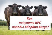 Купить Абердин Ангус мясная порода КРС