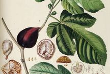 Art-botanical / Art, the precise study of a specimen, beautiful
