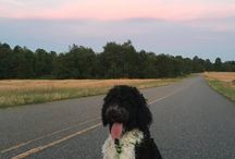 The Life of Doodle / Goldendoodles, Labradoodles, Sheepadoodles, Bernedoodles, and more! All things for doodle lovers!! Want to be a board collaborator? Follow me first and then message me!