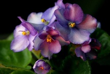 African Violets / by Robyn Novak Pervin