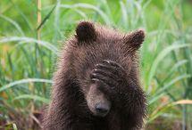 Bears / Grizzly, Sun, Black, Brown...every bear under the sun!