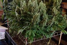 I Love to ScrOG Marijuana Plants / Growing marijuana using the Screen Of Green method is a perfect way to increase your yield