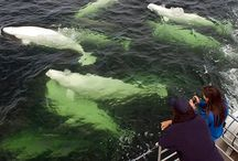 Belugas, Bears & Blooms / Summer is the perfect time to visit Churchill - thousands of beluga whales migrate into the Churchill River and the surrounding landscape erupts into colourful blooms! You may even see a summer polar bear or two!