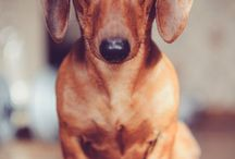 My Doxie Obsession  / by Miranda Easom