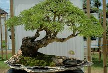 Bonsai / bonsai and trees