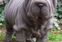 SHAR-PEI / WHO LOOK LIKE MY QUINNIE BOY / by Paula Walters