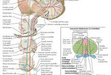 Atlas Anatomy Human / Atlas Anatomy Human