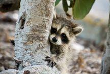 raccoon / tvättbjörnar
