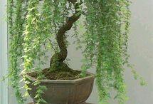 plantíneas