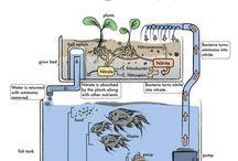 Aquaponics / Combinatie aquarium en hydrocultuur