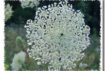 "Queen Annes Lace - ""white desire"""