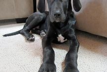 Gleeful Great Danes / by The Daily Puppy