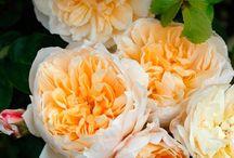 Rose, peonie e altre meraviglie