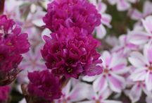 Phlox Combinations / Plant partnerships that include creeping phlox, garden phlox, meadow phlox, woodland phlox, or other perennial phlox