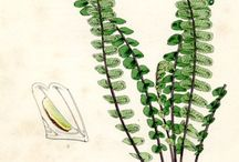 Flora - Botanica