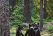 the real bear