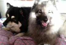Yoda / Yoda - The Keeshond  My Sweet Love,  Puffy & Soft Furry Friend.