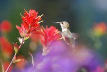 Hummer Love / Hummingbirds