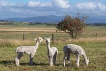 Alpacas / We love alpacas and have 5 here at Promhills.
