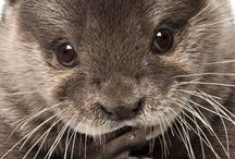 Adorable Fauna / Otter