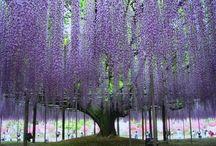 Wisteria Wonders / Wonderful Wisteria blooming in amazing ways  around the world.