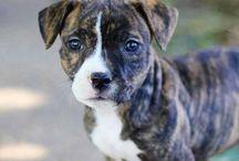 Pitbull, Chiens et chiots / american pit bull terrier  pitbull chiot  pitbull prix  pitbull a vendre  american pit bull terrier caractère