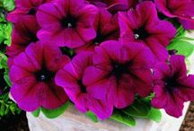 Petunia / Petunia seeds for prosessional production of beddingplants