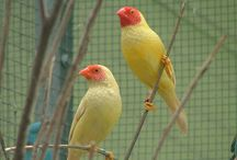 Finches and small passerines color mutations