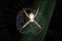 St. Andrews Cross Spiders forever / by Sandpaperdaisy Art